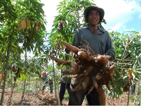Hai vụ qua, rẫy sắn nhà ông Nguyễn Tân (Sông Hinh, Phú Yên) đạt năng suất 55 tấn ha.