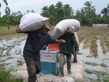 ND xã Đông Bình, thị xã Bình Minh, Vĩnh Long đang thu hoạch lúa thu đông.
