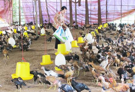 Nuôi gia cầm an toàn sinh học ở xã Thương Lương (Bình Long, Bình Phước).