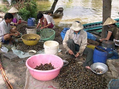 Nhiều hộ dân ở ĐBSCL bắt ốc bươu vàng để cung cấp cho các thương lái Trung Quốc