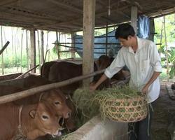 Nuôi bò thịt giúp gia đình anh Phạm Văn Thanh ( khu 2 xã Mai Tùng ) thu lãi 60- 70 triệu đồng.