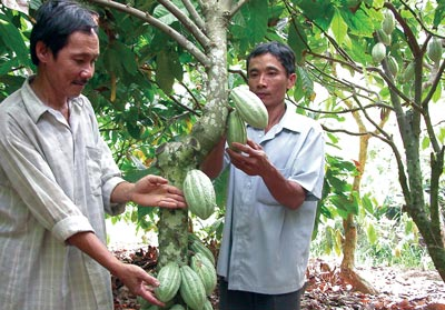 Ca cao trồng ở tỉnh Bến Tre