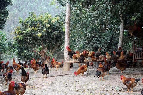 Đàn gà của gia đình chị Hạnh. Tỉnh Bắc Giang đang có chính sách đóng dấu, gắn mác lên gà thành phẩm của Yên Thế, tuy nhiên, đó là kế hoạch sau Tết Nguyên Đán