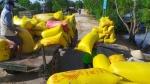 Hàng triệu nông dân ở ĐBSCL sốt ruột khi giá lúa đang ở mức cao mà lúa ngoài đồng chỉ ở giai đoạn đẻ nhánh,...