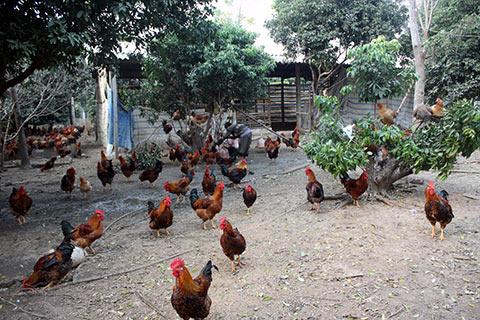 Không ít gia đình ở Yên Thế đã phải cắt giảm số lượng đàn gà của mình vì giá quá thấp