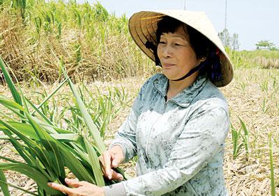 Nông dân huyện Cù Lao Dung (Sóc Trăng) bỏ ruộng mía do thua lỗ.