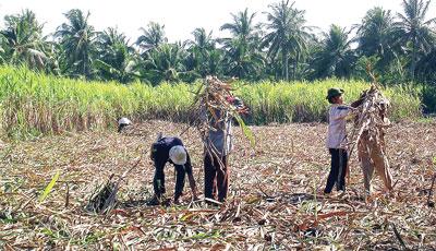 Nông dân huyện Phụng Hiệp (Hậu Giang) trăn trở với cây mía.