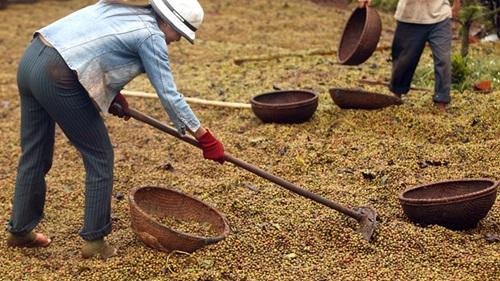 Người trồng cà phê đang găm hàng chờ được giá sau Tết