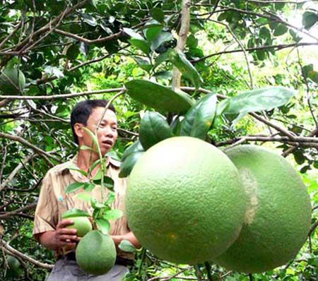 Những ngày cận Tết Giáp Ngọ, giá bưởi da xanh liên tục tăng khiến nhà vườn Tiền Giang phấn khởi.