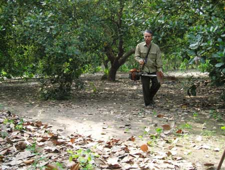 Vườn điều sản xuất theo tiêu chuẩn FLO của gia đình ông Trương Minh Lương.