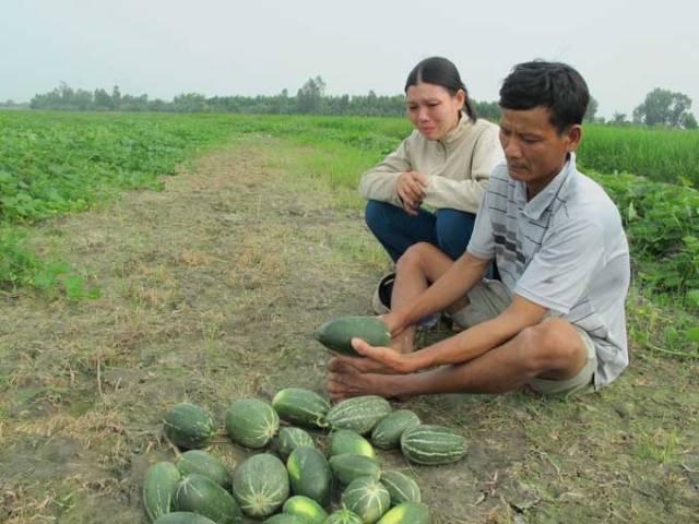 """Vợ chồng anh Võ Văn Sơn ngồi thất thần trước ruộng dưa """"lạ"""" của mình"""