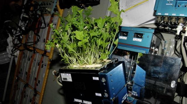 Cải xanh Nhật được trồng trên ISS