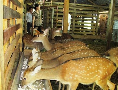 Chăn nuôi hươu sao phát triển mạnh ở huyện Hương Sơn