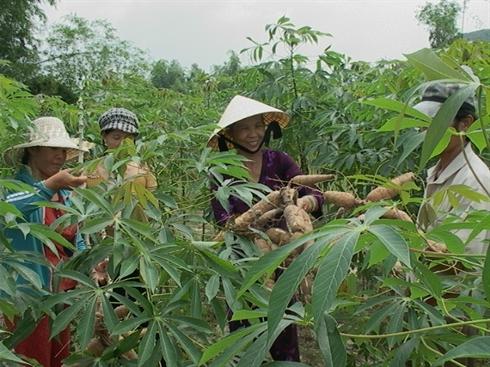 Nông dân Bình Định thu hoạch mì.