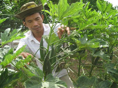 Nông dân huyện Bình Tân trồng đậu bắp.