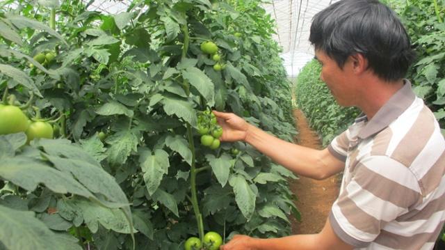 Vườn cà chua công nghệ cao trĩu quả trong nhà lưới của anh Nguyễn Phú Quốc