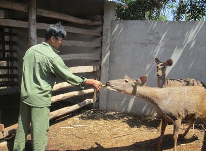 Anh Trương Sinh (tổ 41 xã Sơn Bình, huyện Châu Đức) chăm sóc đàn nai.