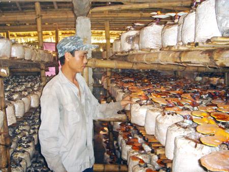 Chăm sóc nấm linh chi tại HTX Nấm Khánh Phú (Yên Khánh, Ninh Bình).