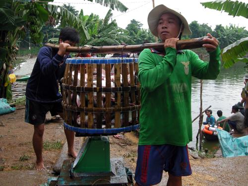 Giá cá tra giống cũng đang nằm ở mức có lãi cho người ương cá (ảnh chụp xã Phú Cường, huyện Cai Lậy, Tiền Giang)