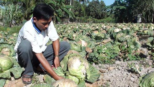 Nông dân Lê Văn Sua (Q.Thốt Nốt, Cần Thơ) nghẹn ngào bên rẫy bắp cải bỏ khô