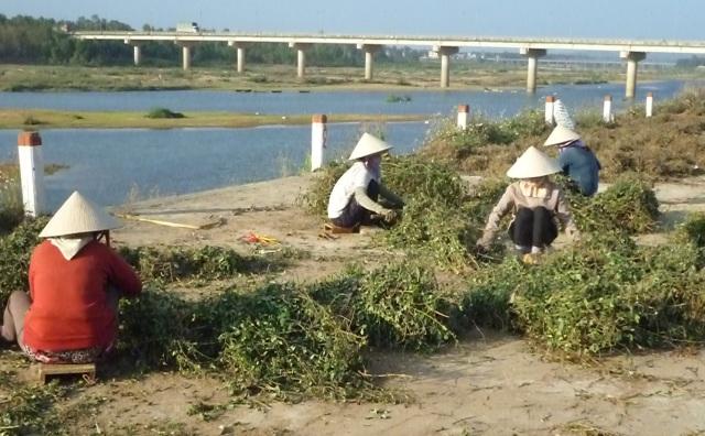 Nhiều phụ nữ nông thôn tranh thủ lúc nông nhàn làm thêm cho điểm thu mua cây cà gai leo