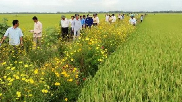 Ruộng lúa bờ hoa ở Đồng Tháp.