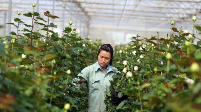 Thu hoạch hoa hồng trồng trên giá thể xơ dừa
