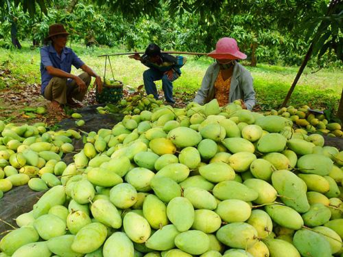 Nông dân ĐBSCL đang vào cao điểm thu hoạch xoài nhưng giá lại rớt thê thảm
