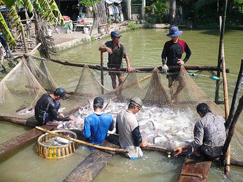 Thu hoạch cá tra ở đồng bằng sông Cửu Long