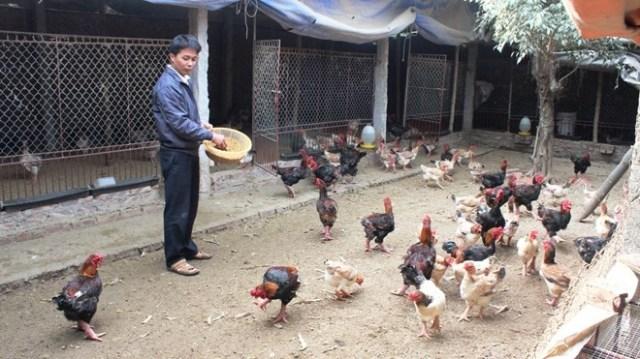 Trang trại gà của anh Lê Quang Thắng ở xóm Đoàn Kết, xã Đông Tảo