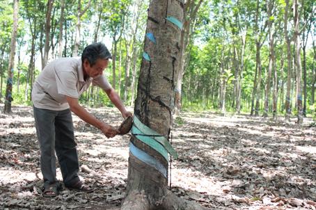 Ông Trần Quang Tuyến (huyện Xuân Lộc) chuẩn bị dụng cụ cho đợt khai thác mủ sắp tới.