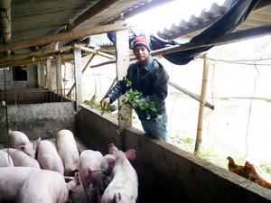 Dịp rét đậm vừa qua cộng với giá thức ăn luôn biến động khiến những chủ trang trại chăn nuôi như anh Bền gặp khó khăn