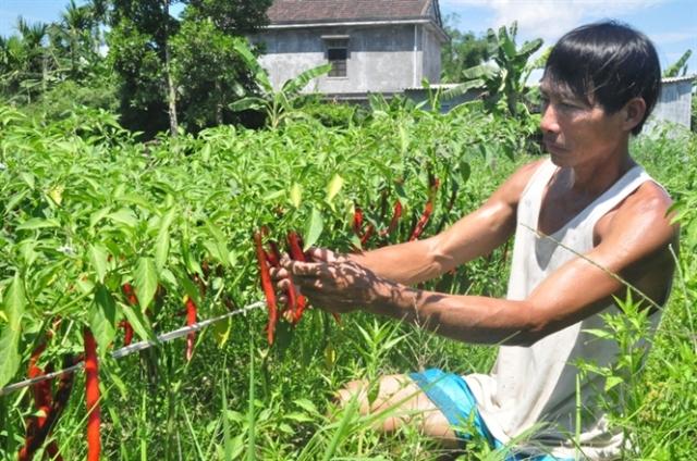 Ớt đã chín, công ty không thu mua gây thiệt hại cho bà con nông dân xã Phong Hiền