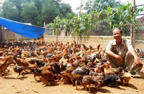 Ông Mai Văn Rõ bên đàn gà gần 3.000 con