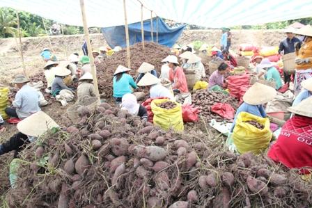 Thương lái vẫn thu mua bình thường ở các ruộng khoai lang