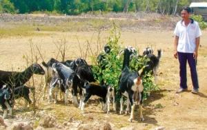 Chỉ ăn lá đước và cỏ dại, đàn dê của anh Lê Văn Mười Lớn vẫn cho thu nhập hàng trăm triệu đồng mỗi năm.