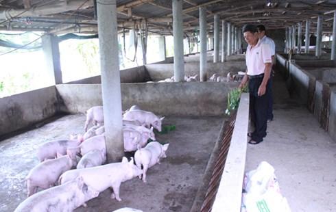 Khu nuôi lợn trong trang trại ông Sơn.