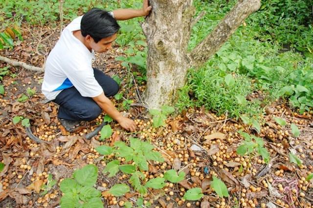 Trái dâu rụng khắp vườn của gia đình ông Phạm Minh Hoàng