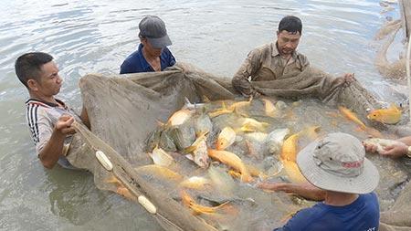 Thu hoạch cá chép giòn ở trang trại ông Phạm Đăng Thập