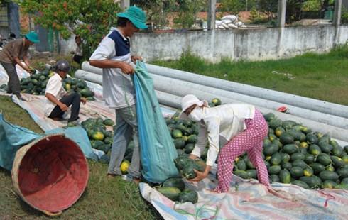 Thu hoạch dưa hấu tạihuyện Tân Trụ, Long An.