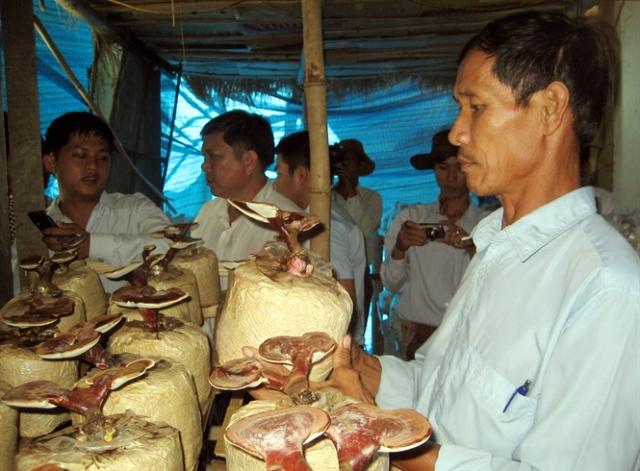 Trồng nấm linh chi ở Quảng Nam cho hiệu quả kinh tế cao