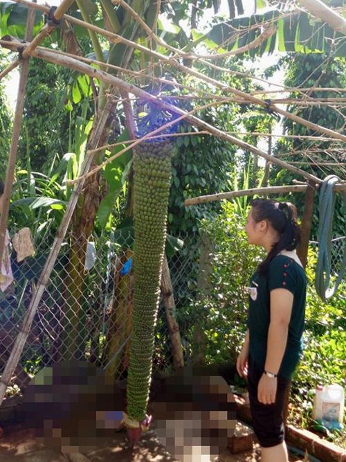 Buồng chuối lạ tại vườn ông nhà ông Trần Thanh Hải, TP.Buôn Ma Thuột (Đắk Lắk)