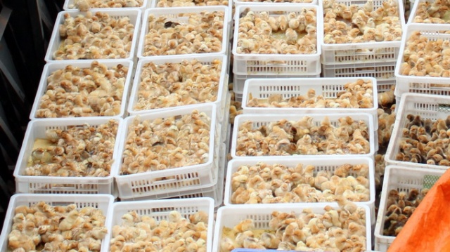 Người chăn nuôi hiện phải mua gà giống với giá cao: 15.000 đồng/con