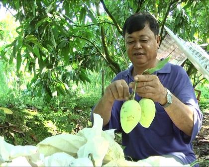 Nhà vườn ấp Mỹ Thạnh, xã Mỹ Xương đang thu hoạch xoài