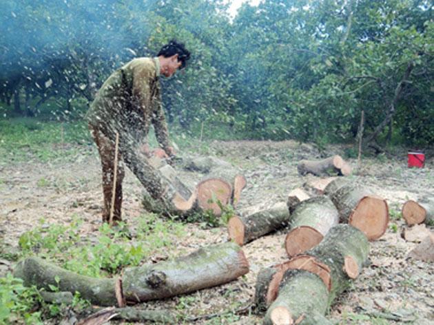 Nhiều hộ dân chặt bỏ cây điều.