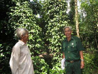 Ông Phạm Văn Nguyên (phải), Chủ tịch Hội Cựu chiến binh xã Tân Thới đánh giá cao mô hình trồng tiêu xen canh của các cựu chiến binh.