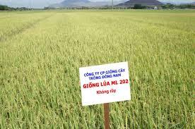 giống lúa Ma Lâm 202 (ML 202)