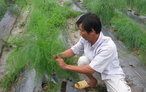 Nước là yếu tố quan trọng quyết định năng suất và chất lượng măng tây.