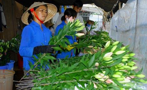 Phân loại hoa lily để vận chuyển đi tiêu thụ.