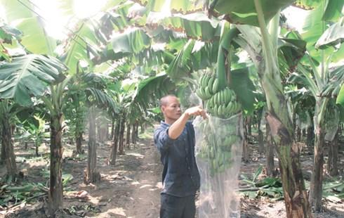 Phạm Năng Thành dùng túi nylon bao bọc buồng chuối khi còn non để quả chuối sau này sáng vỏ, mã đẹp.